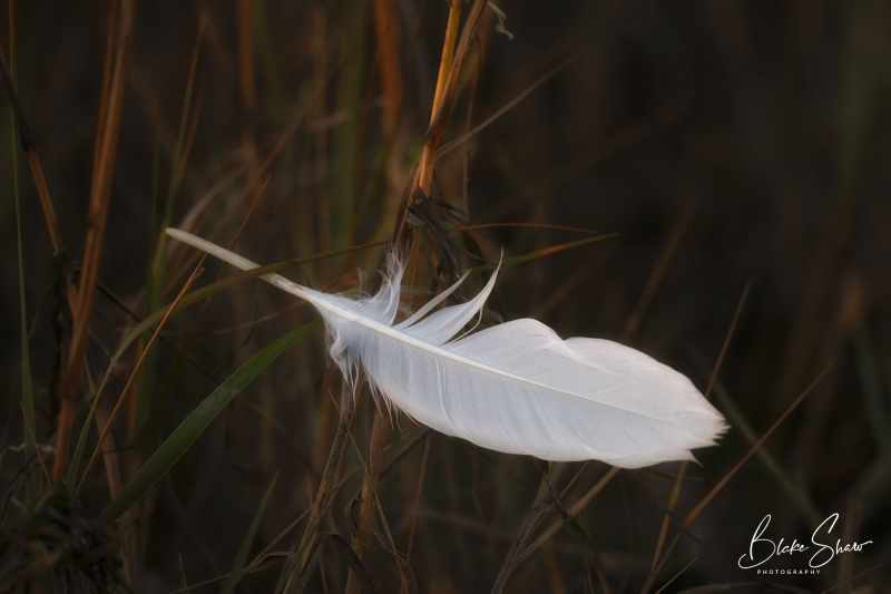 Great egret feather