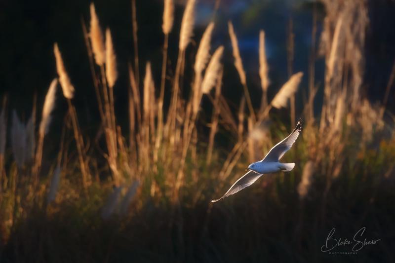 Ring-billed gull lake murray