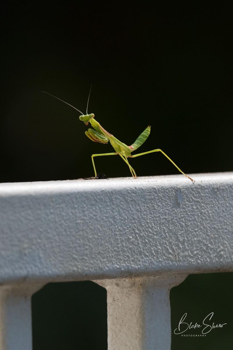 Praying mantis blake shaw