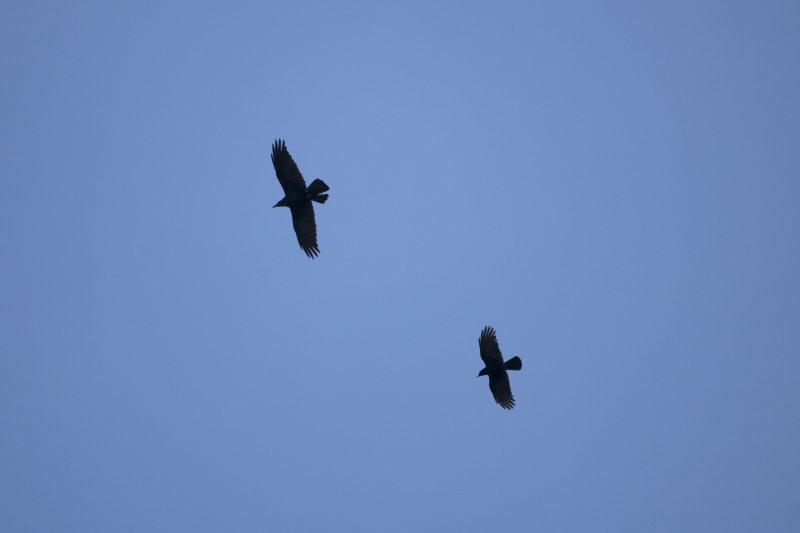 Crow and raven 3
