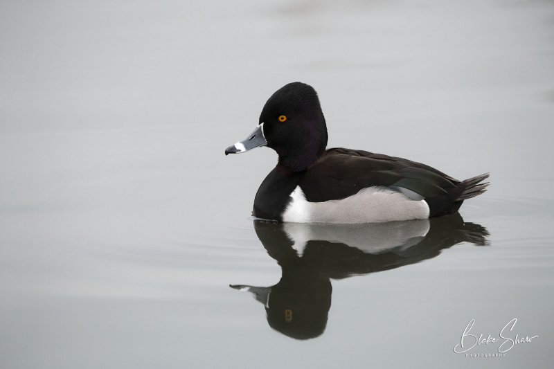 Ring-necked duck santee lakes