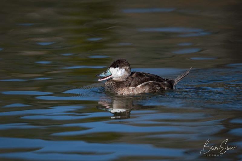 Ruddy duck blake shaw 2