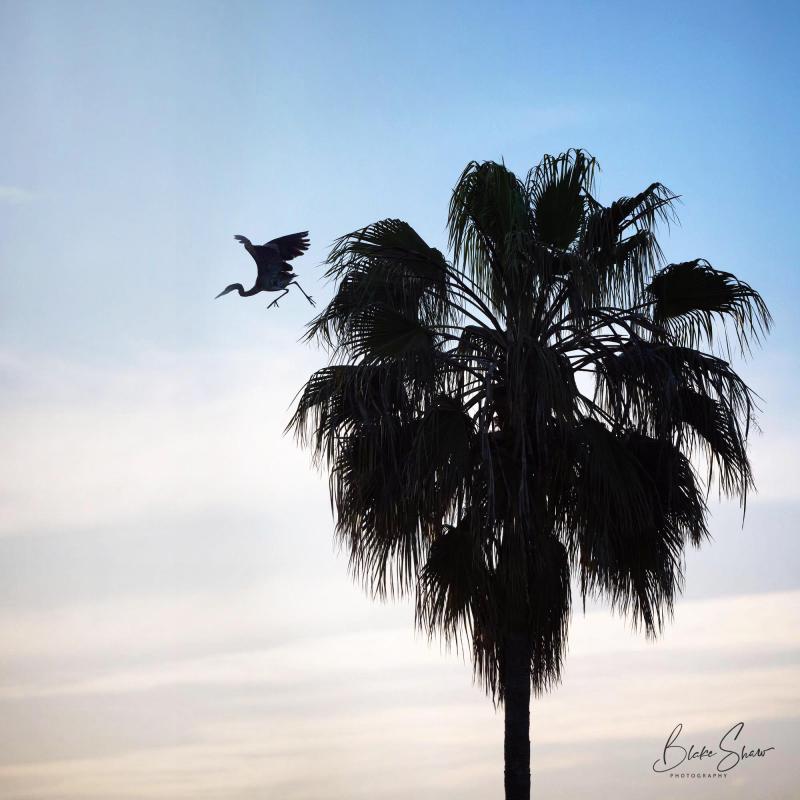 Great blue heron blake shaw 3