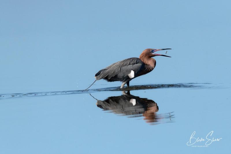 Reddish egret 11