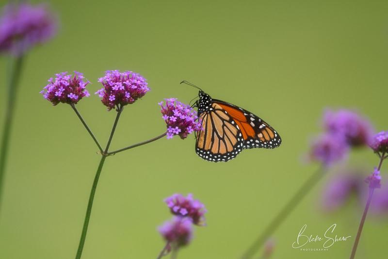 Monarch brazos bend