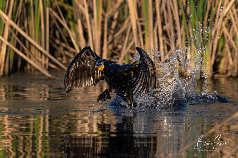 Double-crested cormorant blake shaw