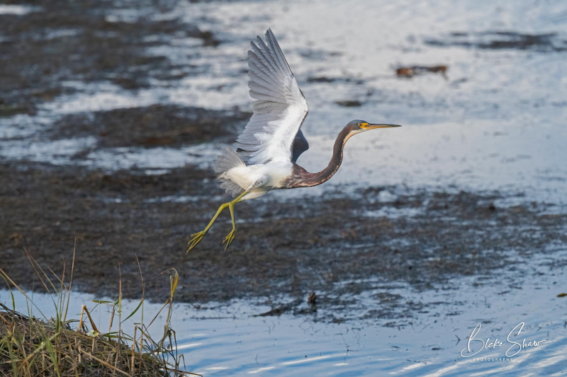 Tricolored heron flight