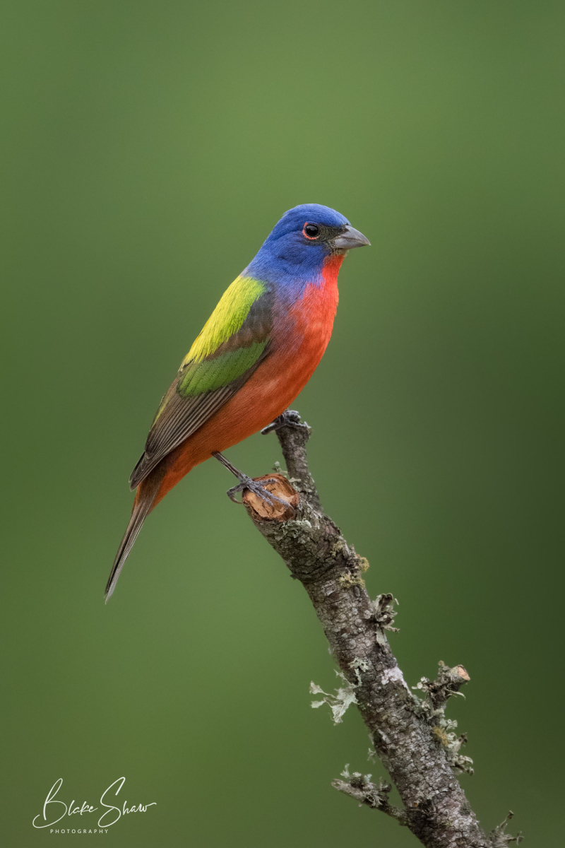 Painted bunting perched