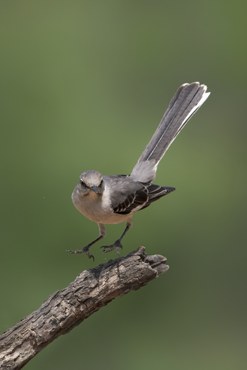 Northern mockingbird laguna seca