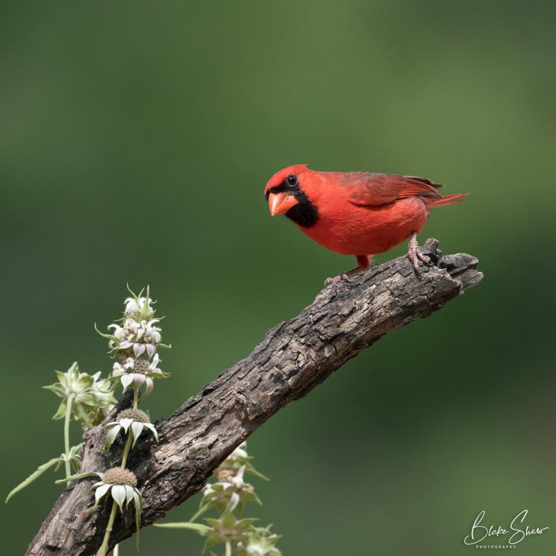Northern cardinal blake shaw