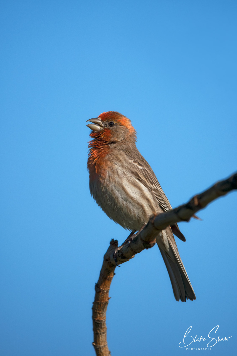 House finch la jolla