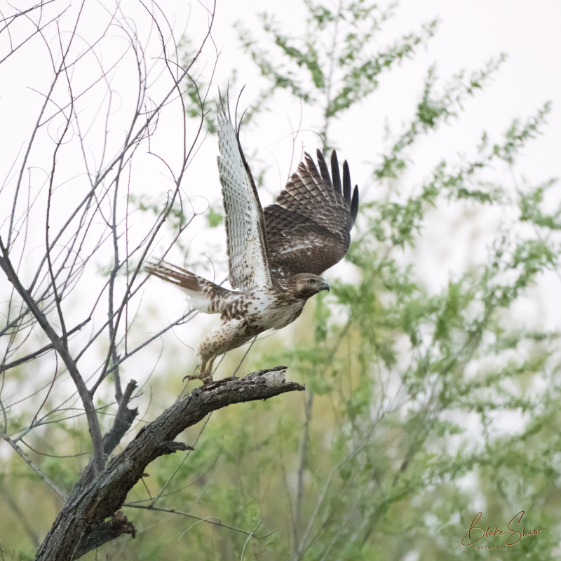 Red-tailed hawk san jacinto