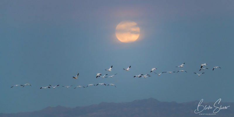 Snow geese and moon blake shaw