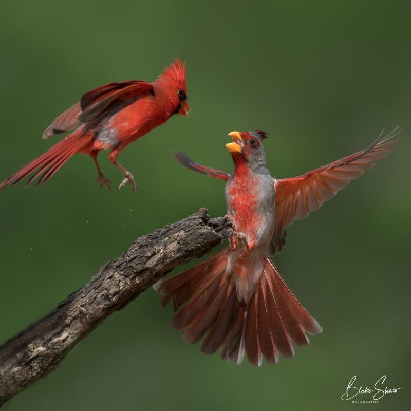 Pyrrhuloxia and cardinal 2