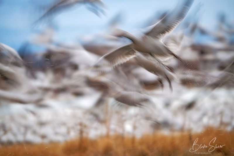 Snow geese abstract 2