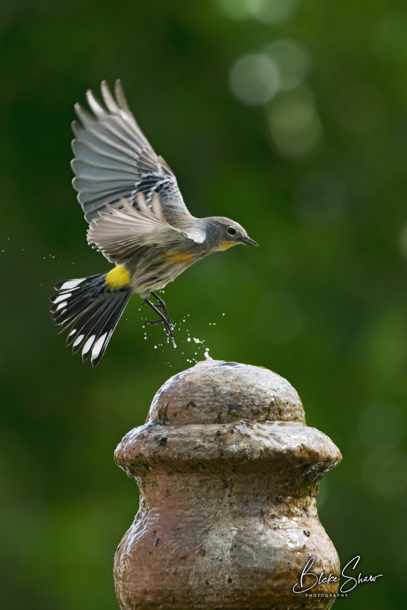 Yellow-rumped warbler on fountain