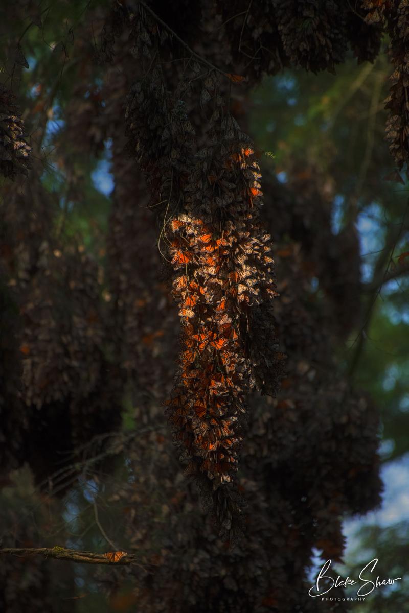 Monarch cluster michoacan