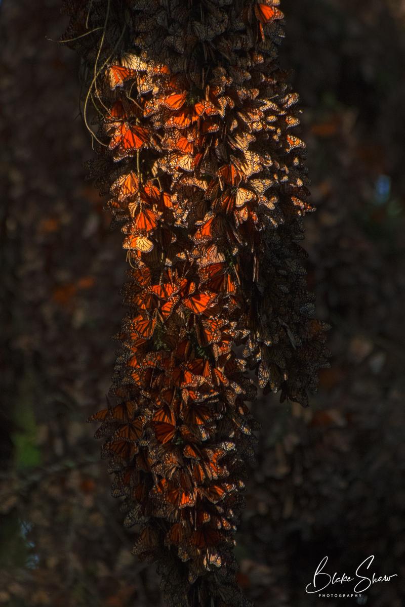 Monarch cluster closeup