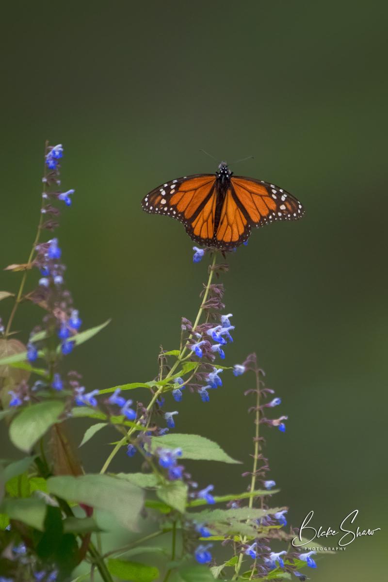 Monarch el rosario 2