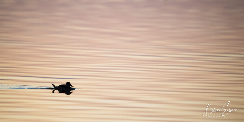 Ruddy duck salton sea