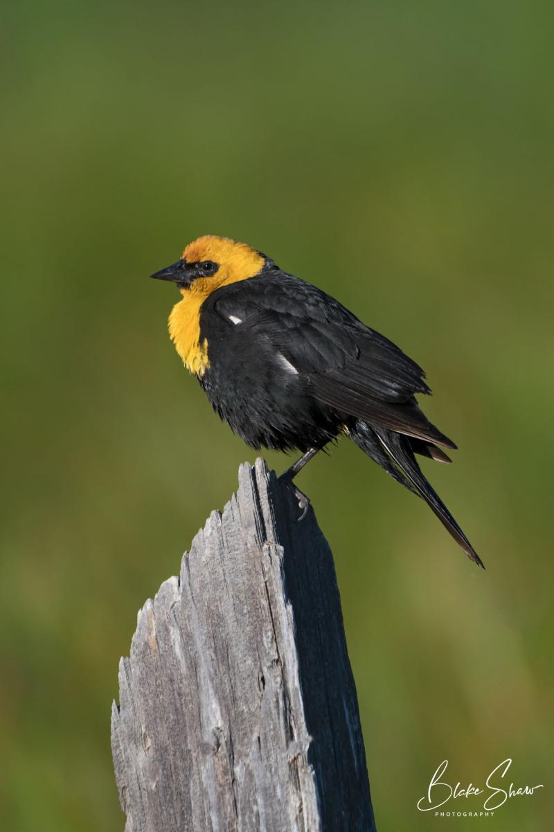 Yellow-headed blackbird blake shaw