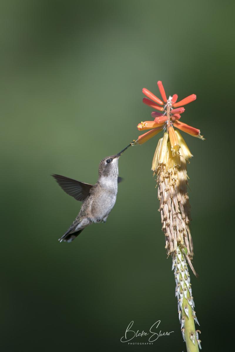 Female hummingbird 2