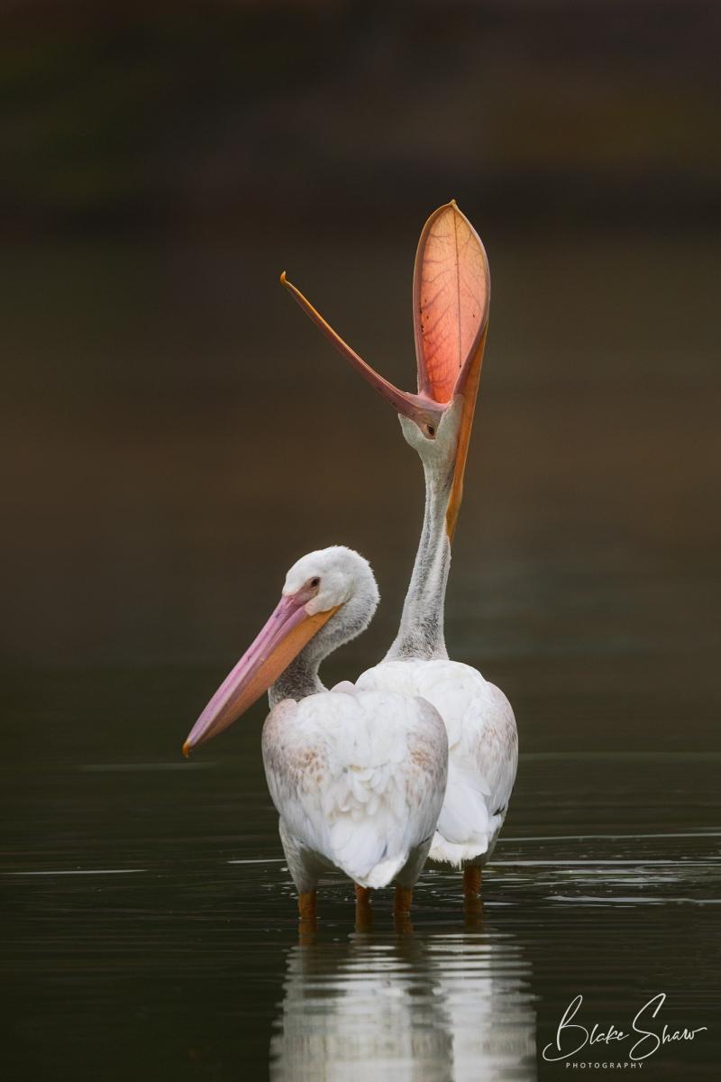 White pelicans blake shaw