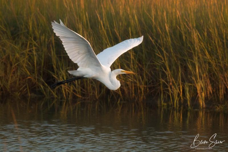 Great egret blake shaw