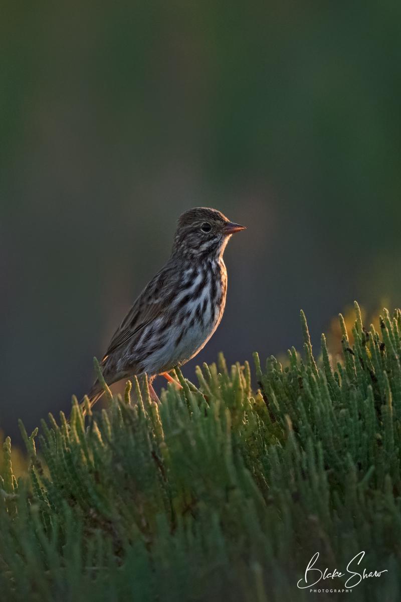 Savannah sparrow blake shaw