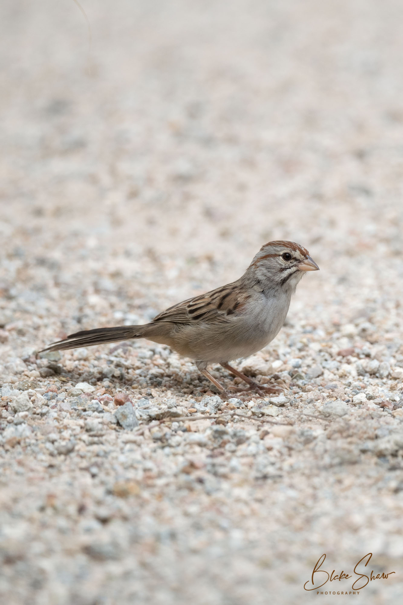 Rufous-winged sparrow blake shaw