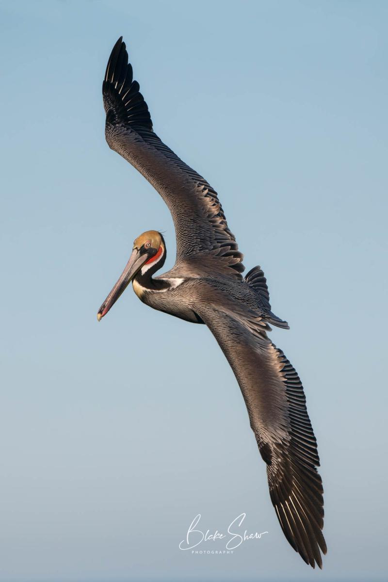 Brown pelican la jolla