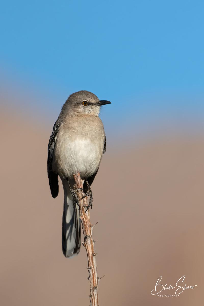 Northern mockingbird borrego