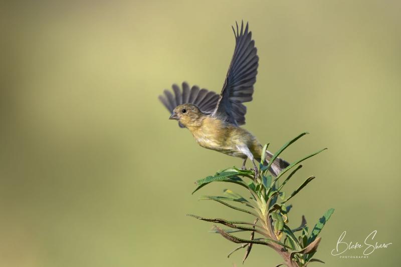 Lesser goldfinch blake shaw
