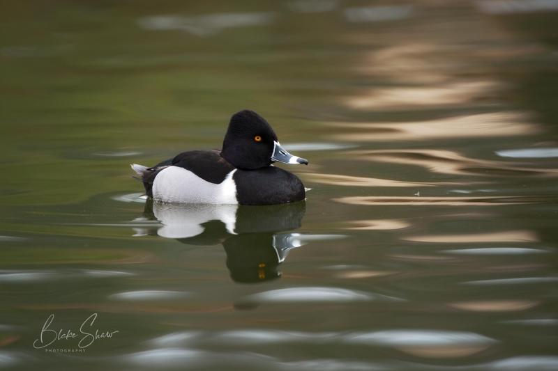Ring-necked duck blake shaw