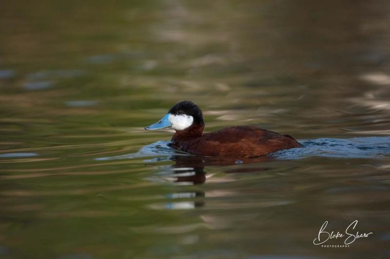 Ruddy duck blake shaw