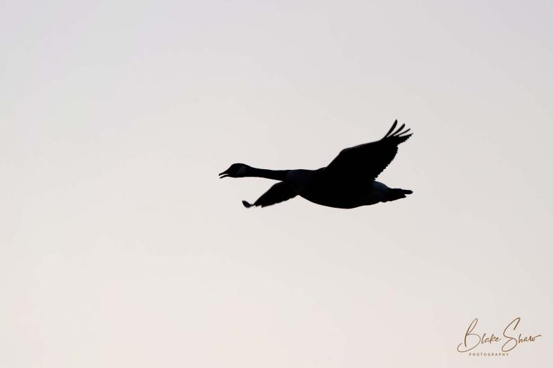 Canada goose silhouette