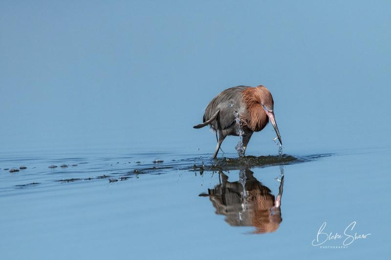 Reddish egret 10