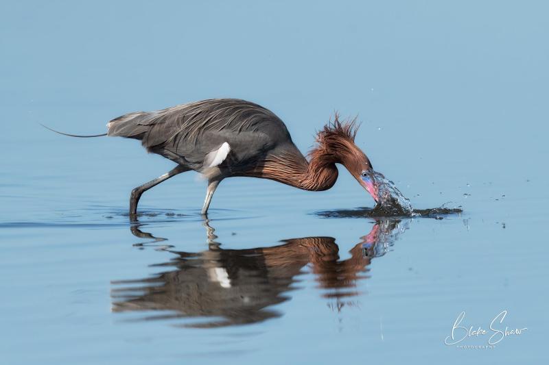 Reddish egret 6