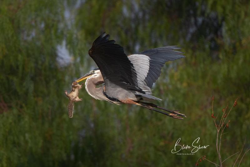 Great blue heron lindo lake