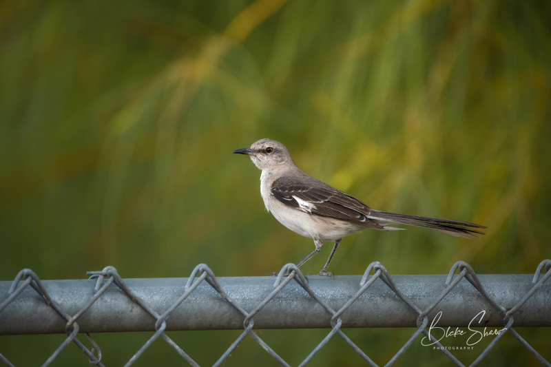 Northern mockingbird blake shaw 2