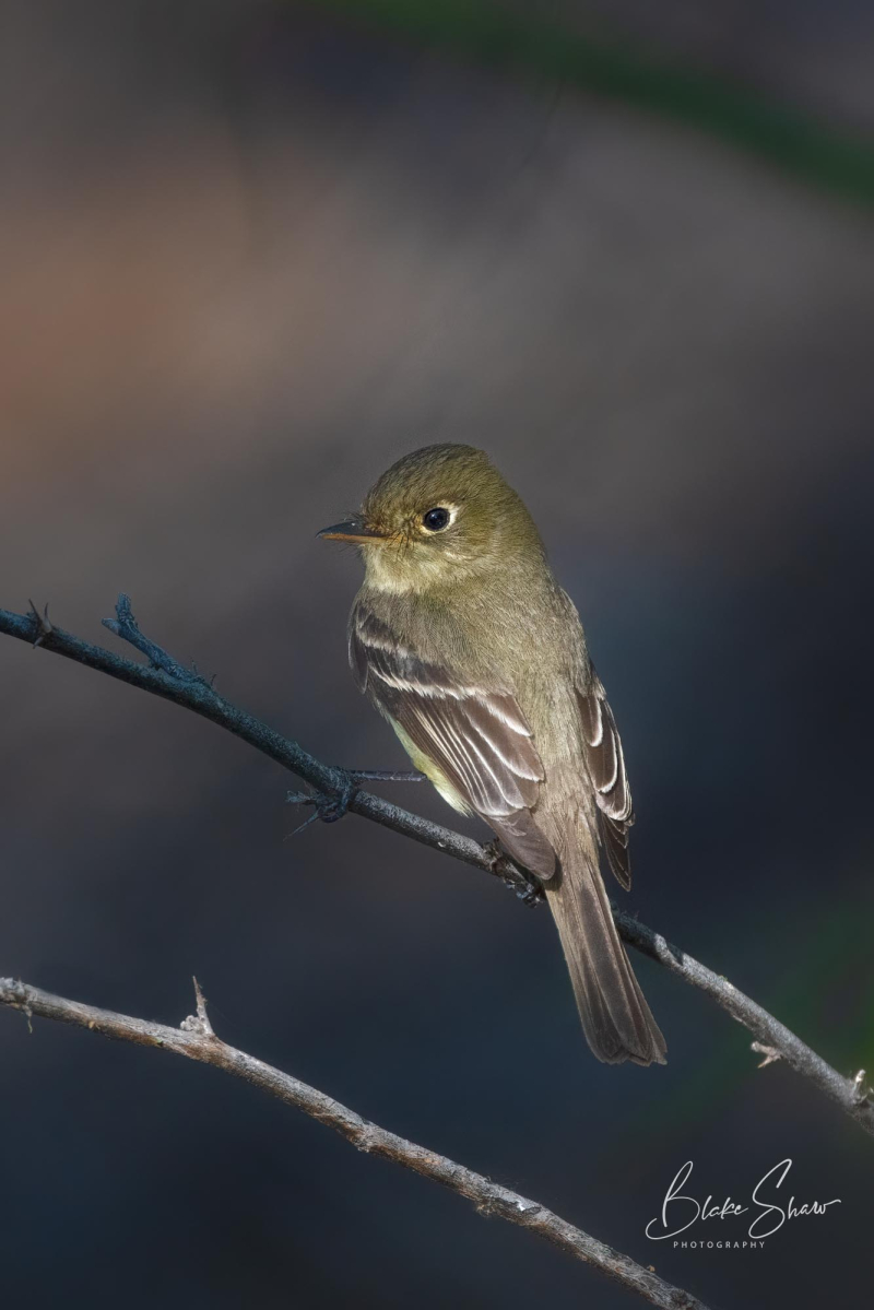 Pacific slope flycatcher blake shaw