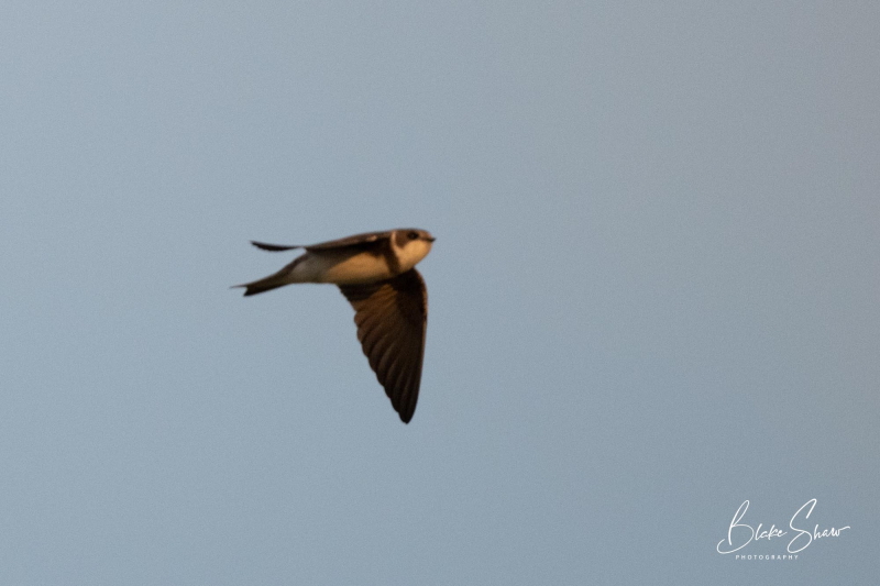 Bank swallow blurry