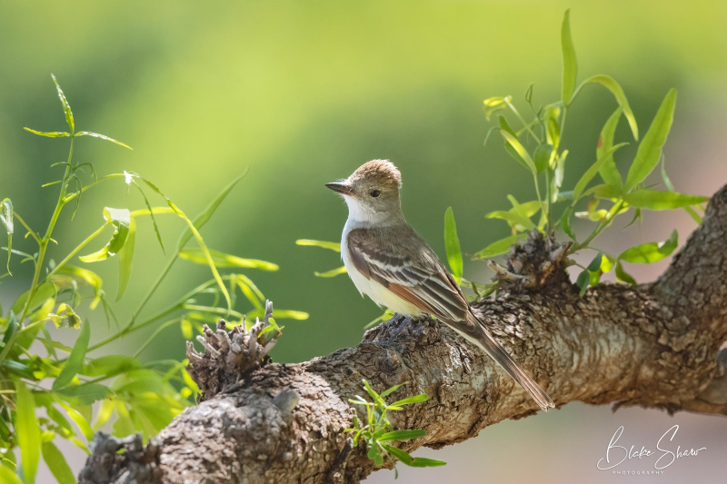 Ash-throated flycatcher 3