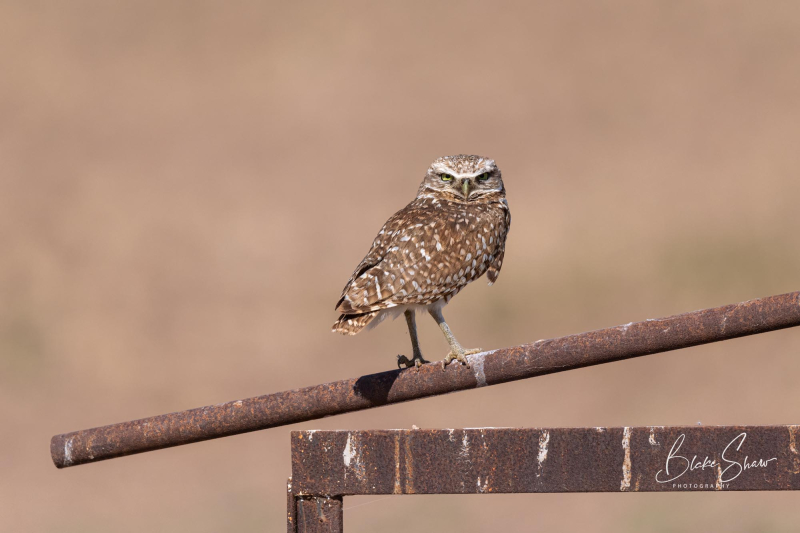 Burrowing owl blake shaw