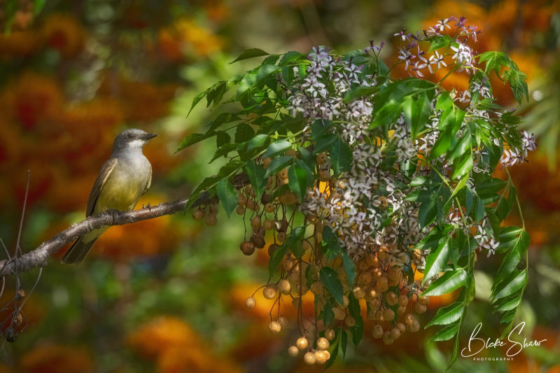 Cassin's kingbird blake shaw