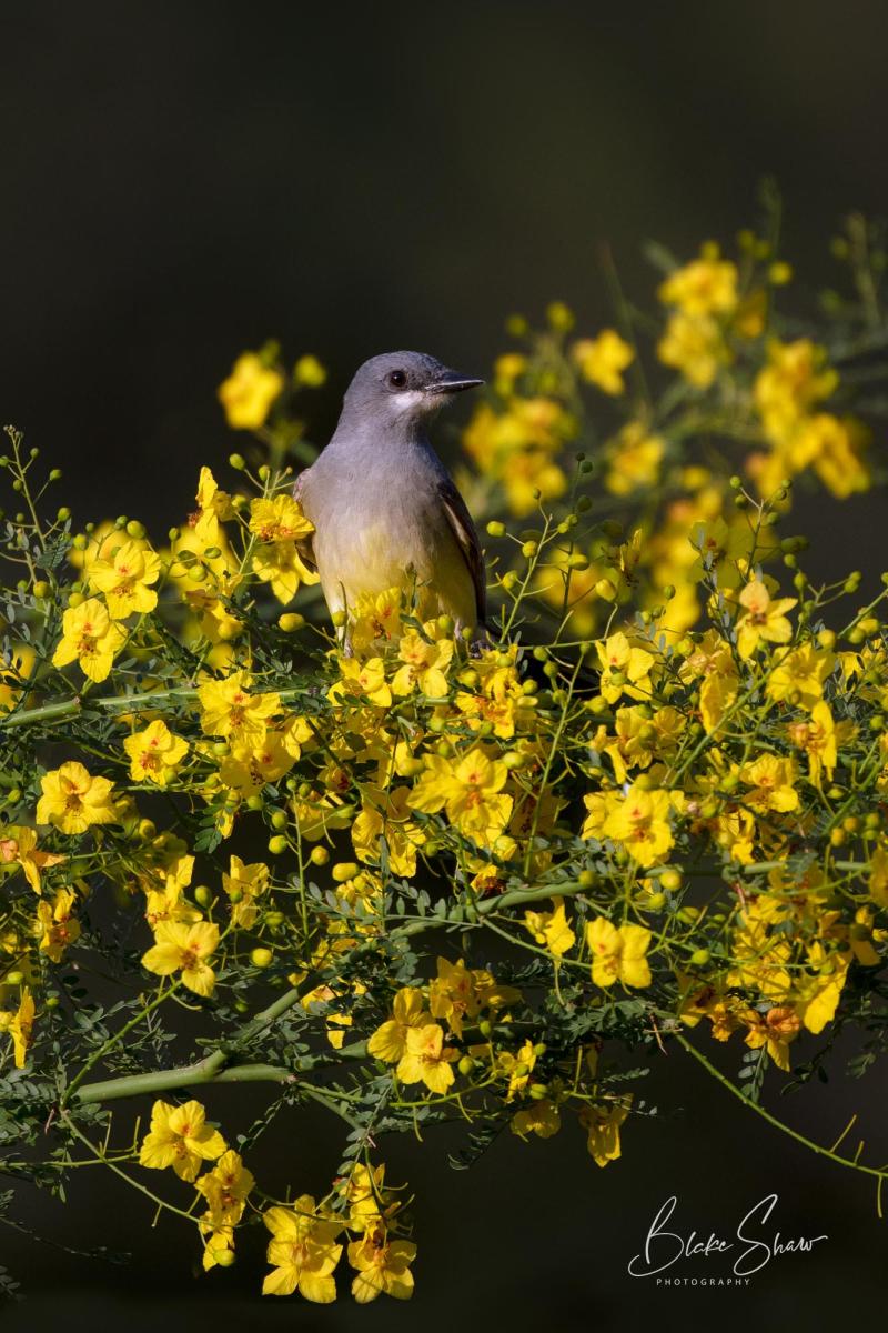 Cassin's kingbird blake shaw 2