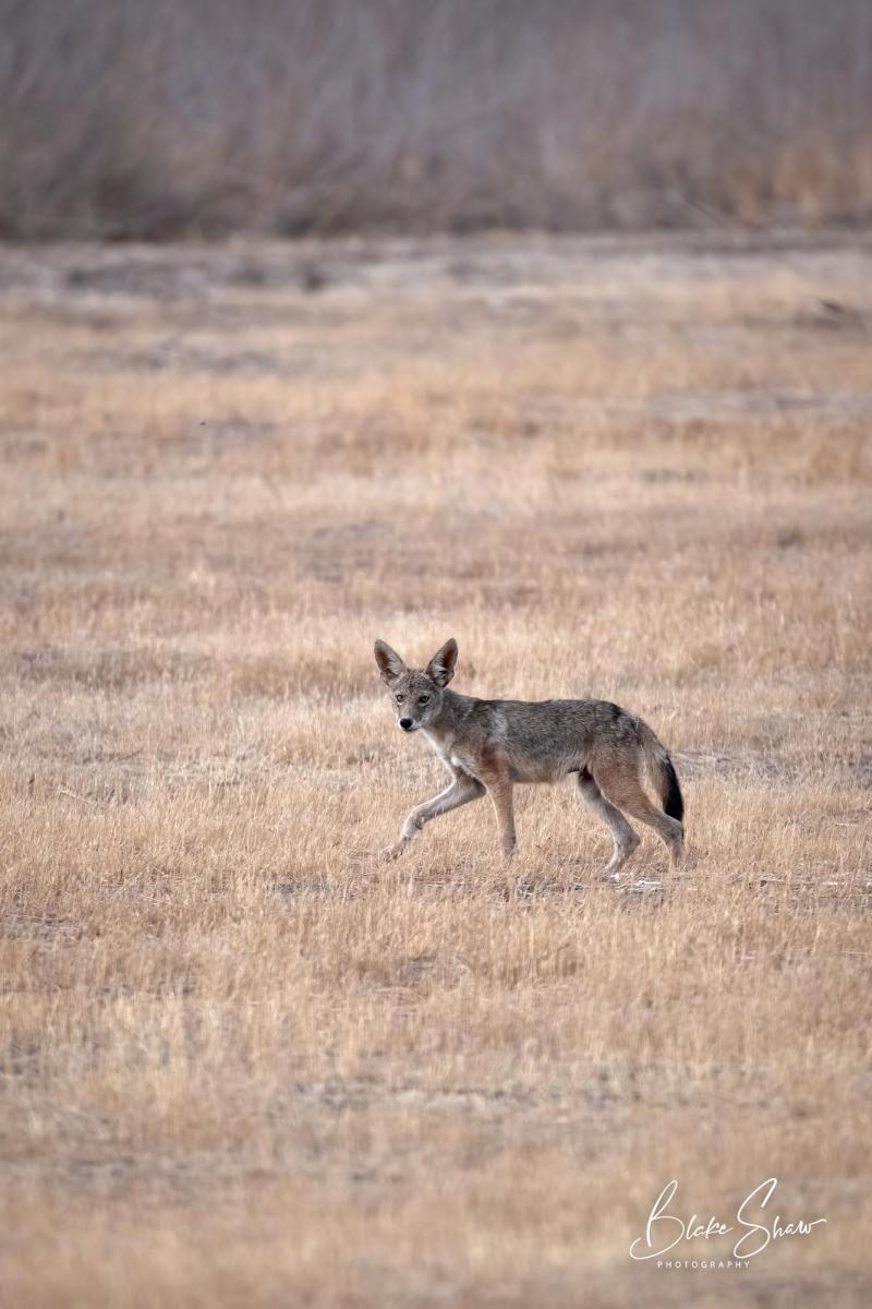 Coyote blake shaw