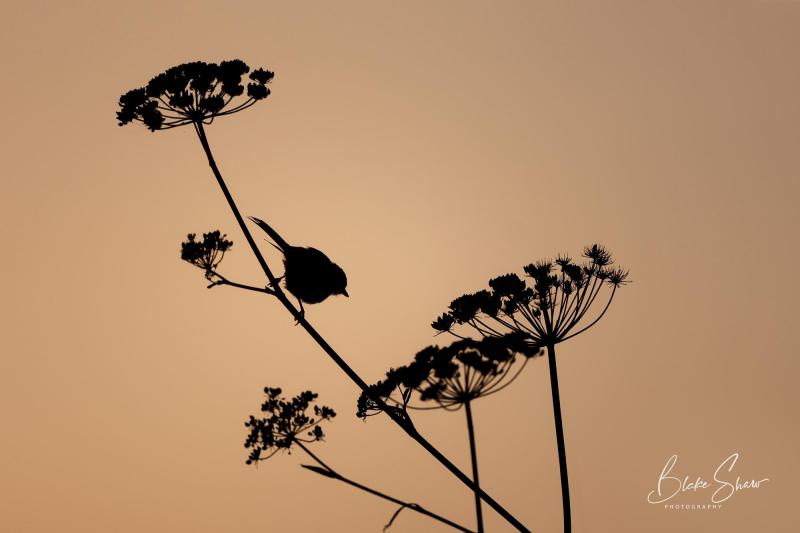 Bushtit silhouette blake shaw