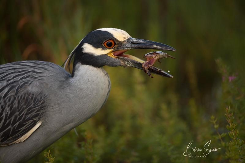 Yellow-crowned night-heron and crab blake shaw