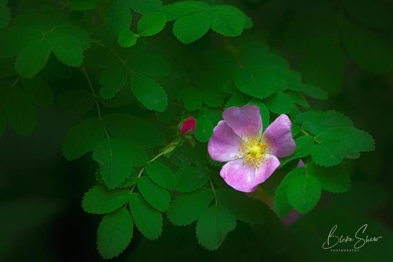Wild prarie rose